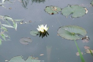 First water lily blossom in our pond.