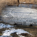 Raised frozen animal tracks on pond ice.