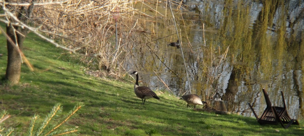 Geese and a duck