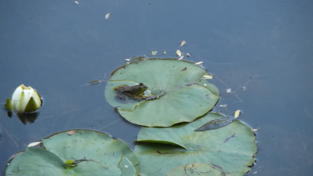 Morning - Frog and flower