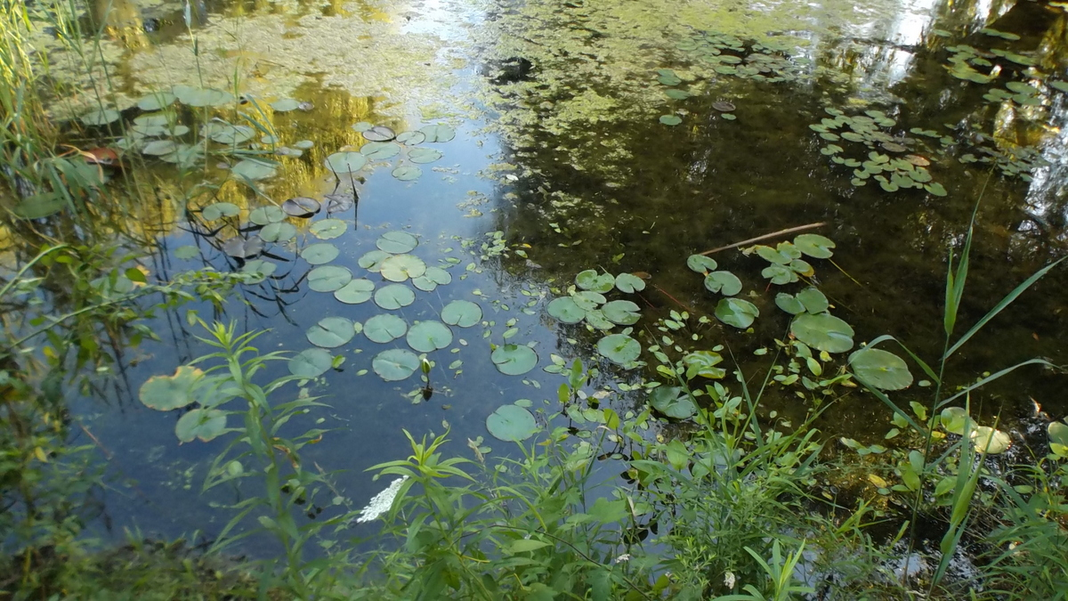 One month ago, water lilies untouched ...