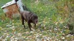Our old lab Miles - such a dear.