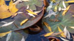 Water Lilies, tulip leaves and willow leaves - bits of oil on the surface from decomposition.