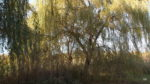 Pond willows - today