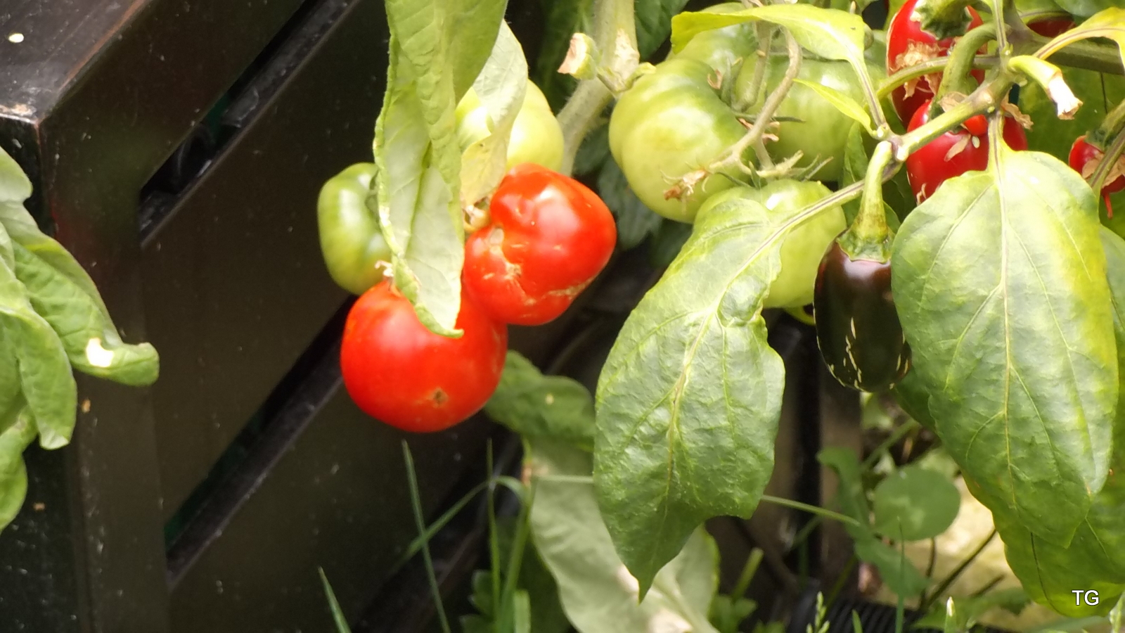 Less than a week ago, these tomatoes and peppers had been growing in our basement.