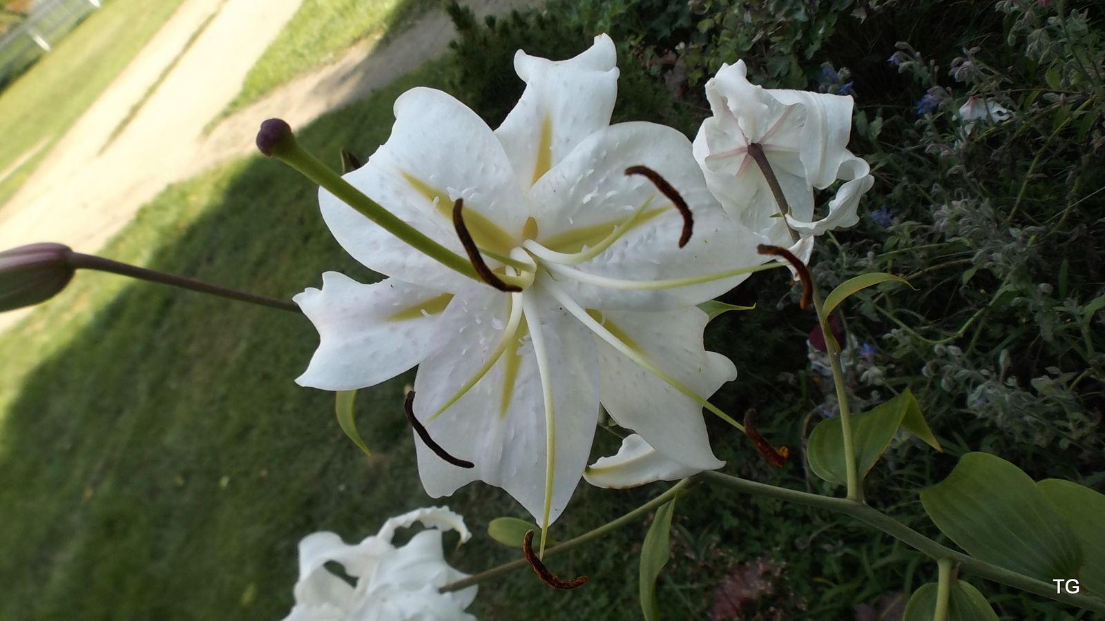 An utterly gorgeous lily, from Jerie's side door garden.