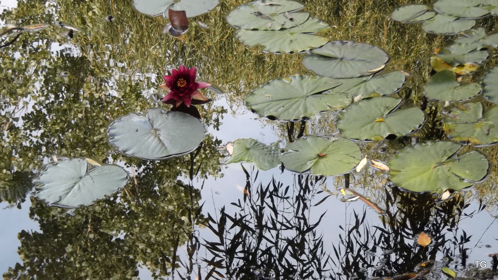 One dark red water lily blossom, reflections abound