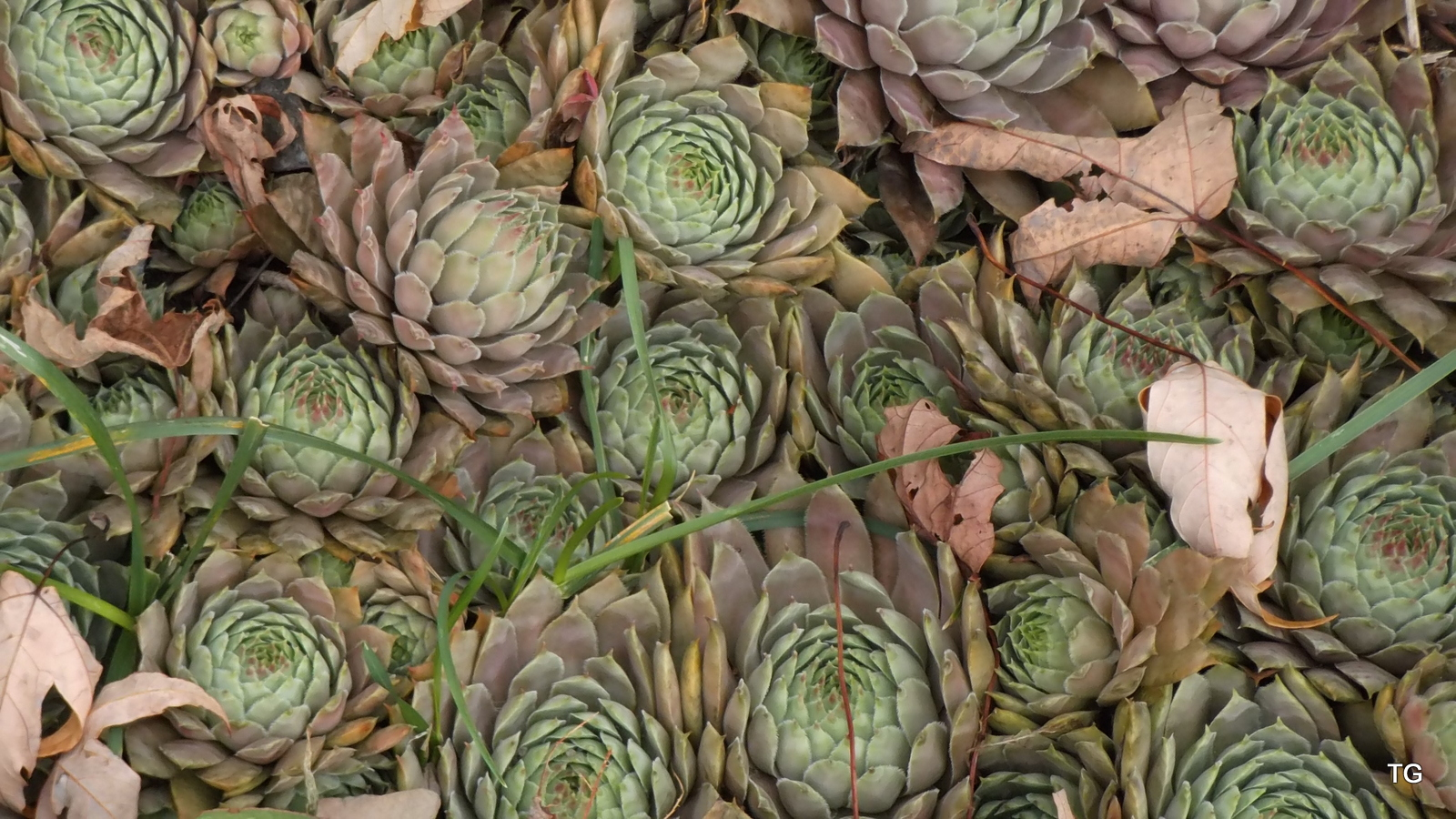 Hens and Chicks ... AKA Audrey when in bloom.