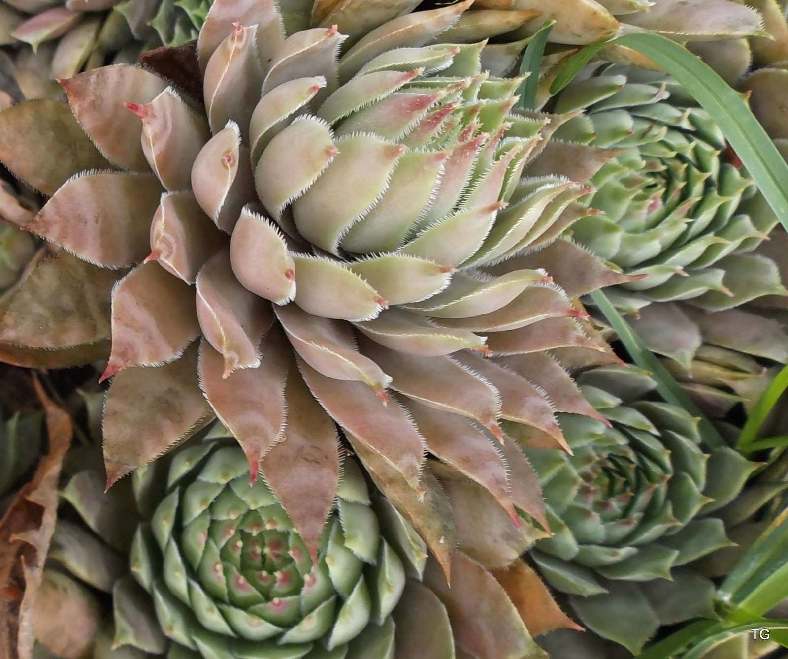 Close up to Hens and Chicks