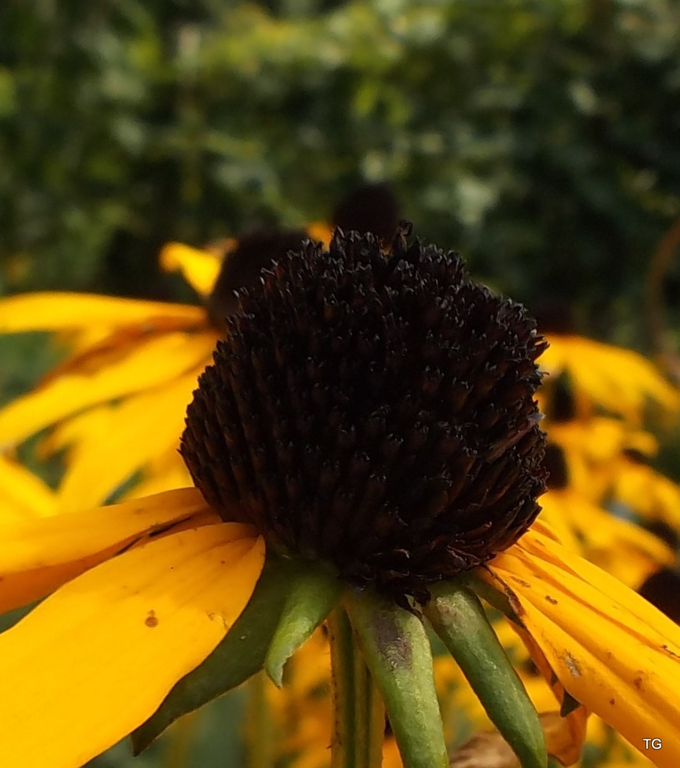 The very black eye, of a Black Eyed Susan